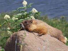 Yellow bellied marmot.
