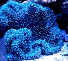 Merten's Carpet Sea Anemone (Stichodactyla...