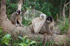 Lémures/Lemurs by Dina – Moderimage