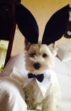Westie bunny