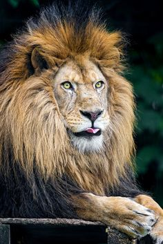This animal, lion is the king of the jungle. For me it represents a figure of royalty Beautiful Lion, Animals Beautiful, Beautiful Creatures, Big Cats, Cats And Kittens, Animals And Pets, Cute Animals, Lions Photos, Male Lion