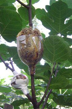 Air Layering a Fig Tree Root Air posant un ficus Veg Garden, Vegetable Garden Design, Fruit Garden, Edible Garden, Garden Plants, Grafting Fruit Trees, Grafting Plants, Ficus, Growing Fig Trees