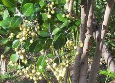 Curtisia Dentata Assegai Tree Assegaiboom S A no 570