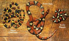 """Eastern Coral Snake can be distinguished from the Scarlet Snake and the Kingsnake by its blunt black snout and the fact that its red and yellow bands touch each other. """"Red on yellow, kill a fellow"""""""