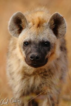 Africa | Young Hyena from the Xinatsi Clan.  Timbavati, Greater Kruger National Park, South Africa  | ©Chad Cocking