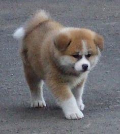 プーチン大統領に贈られた秋田犬 Akita Inu sent to President Putin