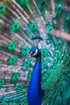 peacock portrait | bird photography #peafowl