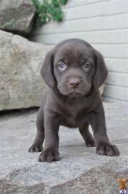 beagle lab mix puppies - Google Search