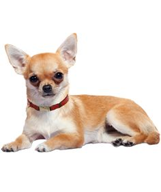 The rationale is that an adult shelter dog is an unknown quantity, so buying or adopting a Chihuahua puppy is safer.