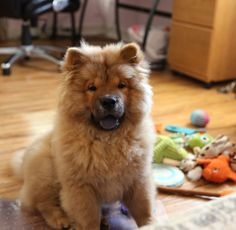 Chow Chow Puppy UMKA !!