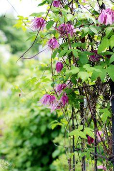 Oravankesäpesä   Alppikärhö Clematis atragene 'Purple Dream'