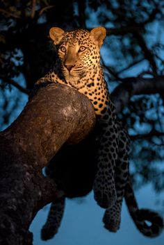 Leopard Blues by Rudi Hulshof on 500px