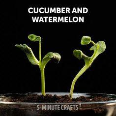 Growing Veggies, Growing Plants, Growing Peppers, Regrow Vegetables, Easy Plants To Grow, Vegetable Garden Design, Plantation, Lawn And Garden, Indoor Water Garden