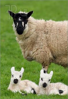 These are Scottish Black-faced Sheep. Note the babies don't turn dark until a later age.