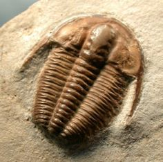 Bergeroniellus asiaticus Family Ellipsocephalidae Lower Cambrian Lena River, Russia