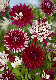~~Dahlia Rebecca's World ~ a serendipitous variety, you may get all red flowers growing next to white flowers speckled with red or red dotted with white | The Flowerbulb~~