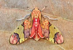 Moth (Neonerita bernardoespinozai) found in French Guiana, Brazil, Venezuela, Bolivia and Mexico Beautiful Bugs, Beautiful Butterflies, Amazing Nature, Cool Insects, Bugs And Insects, Flying Insects, Beautiful Creatures, Animals Beautiful, Colorful Moths