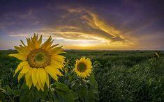 Napraforgó Sunflower Images, Celestial, Mountains, Sunset, Nature, Plants, Sunflowers, Travel, Outdoor