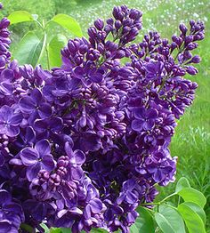 Black Walnut Tolerant Plants.  Lilacs.  Canadale Nurseries Ltd.