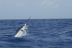 Bermuda- One of the best places in the world to catch a monster marlin