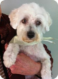 Providence, RI - Maltese/Poodle (Miniature) Mix. Meet Gypsy in RI a Dog for Adoption.