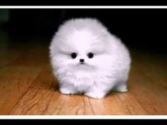 Funny Birthday Song (Pooh the Pomeranian) - YouTube