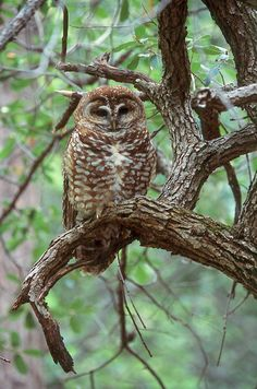 Spotted Owl (Strix occidentalis). Photo by Jared Hobbs.**After all the dividing of people and land and years of fighting, they've found that the Spotted Owl, the now most hated bird, thanks to the EPA, is disappearing anyway. Unbelievable! **  Go figure...
