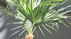 Palm Tree by ~CliffEngland on deviantART