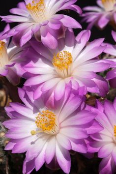 The pretty flowers of mammillaria teresae (cactus) Exotic Flowers, Amazing Flowers, Purple Flowers, Wild Flowers, Beautiful Flowers, Cacti And Succulents, Planting Succulents, Planting Flowers, Cactus Photography