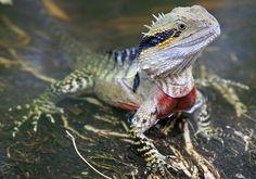 Full Grown Australian Water Dragon Eastern water dragon adult