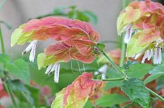 Justicia Brandegeana (Shrimp Plant)  Shrimp plants like full morning sun and partial afternoon shade. They prefer well-draining soil and to be fertilized once a month. They can bloom all year in tropical climates (zone 9 - 11).   Propagate by taking cuttings in spring and summer. Remove a 3- to 4-inch non-flowering shoot just below a node. Dip the tip of the shoot in rooting hormone and place in a pot with potting soil. Keep soil moist and out of direct sun. Misting is also beneficial.