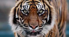 Historic tiger range ran from Turkey through South and Southeast Asia to the far eastern shores of the continent. Today, they are only found in South and Southeast Asia, China and the Russian Far East.