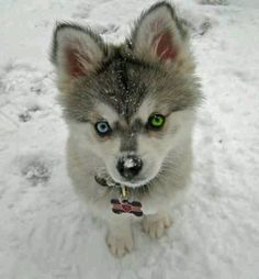 Baby wolf. Look at its eyes!