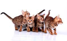 TOP 35 Bengal kittens (6)