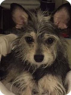 Tempe, AZ - Standard Schnauzer/Chihuahua Mix. Meet Dottie, a dog for adoption. Dottie is an absolute sweetheart. She loves being a lap dog when you let her. She likes to play tug-a-war and will jump for joy when you come home after work. She sleeps well in a crate at bedtime  http://www.adoptapet.com/pet/15036404-tempe-arizona-standard-schnauzer-mix