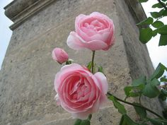 Rose : 'Nah�ma'