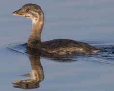 Pied-billed Grebe (Podilymbus podiceps antarcticus) Far less sociable than most grebes, almost never in flocks, sometimes found singly on small marshy ponds. When disturbed or suspicious, it may sink slowly until only head is above water.