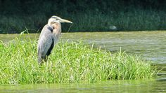 Blue Heron - Allegheny River - photo by Paul Downing