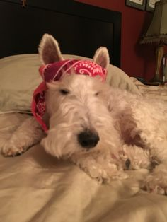 Fox terrier wearing a bandana