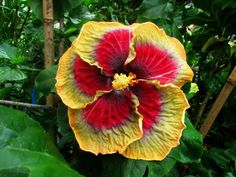 Tahitian purple passion by Aneela L Hibiscus Flowers, All Flowers, Growing Flowers, Exotic Flowers, Large Flowers, Planting Flowers, Beautiful Flowers, Bali Garden, Dream Garden