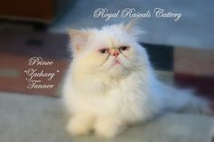 Persian Cat with all the purrsonality in the world! Mr. Prince Zachary Tanner at Royal Rascals Cattery