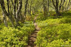 Photo: Path among bilberry bushes