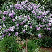Pink Althea Rose of Sharon Hibiscus Tree on Sale Patio Fruit Trees, Patio Plants, Outdoor Plants, House Plants, Lavender Roses, Purple Roses, Purple Wisteria, Korean Lilac Tree, Rose Of Sharon Tree