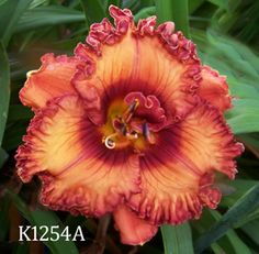 Coming Attractions - Maryott's Daylily Gardens