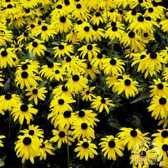 """F) Rudbeckia fulgida: Goldstrum.  Blooms from mid-Summer through fall.  Foliage forms upright clumps of bush.  Gold flowers with brown eyes.  Height is 23"""" - 29""""."""