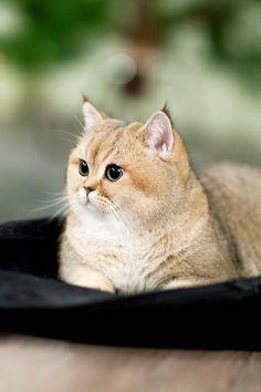 Perchik, cats, bri cats, british shorthair, ny 25, british golden cat, golden ticked cat, golden shaded cat