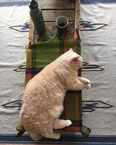 チャイ的ピクニック寝ること  #cat #ネコ #小心者の親分 #チャイ坊 #チャイ #chai #britishshorthair #ブリティッシュショートヘア #クラッシュフェイス #ぶチャイく #愛の交歓 by ayukohamanaka