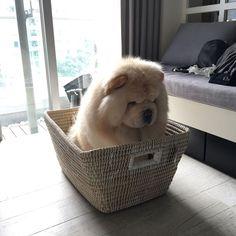 Cute ChowChow girl Fluffy animals, Cute puppies, Cute