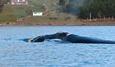 First known NZ southern right whale birth since end of hunting!