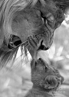 may-december lion love Animals And Pets, Baby Animals, Funny Animals, Cute Animals, Wild Animals, Animals Tumblr, Animals Planet, Lion Love, Cute Lion